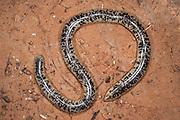Schlegel's Blind Snake (Typhlops schlegelii)<br /> Marakele Private Reserve, Waterberg Biosphere Reserve<br /> Limpopo Province<br /> SOUTH AFRICA<br /> HABITAT & RANGE: Coastal bush to sandveld from northern regions of South Africa to Sudan