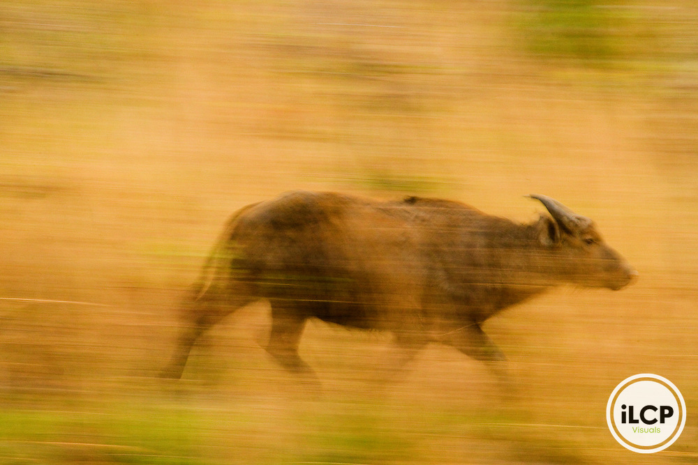 Forest Buffalo (Syncerus caffer nanus) bull running, Lope National Park, Gabon