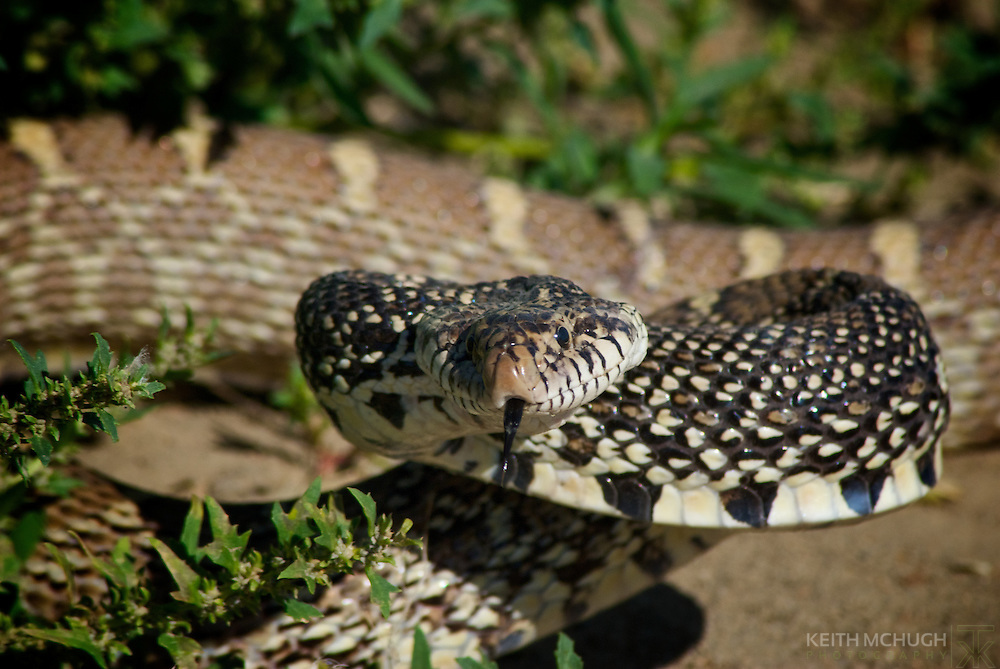 Adult bull snake ready to strike