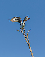 Osprey raises wings to takeoff from top of tree, blue sky background. © 2015 David A. Ponton