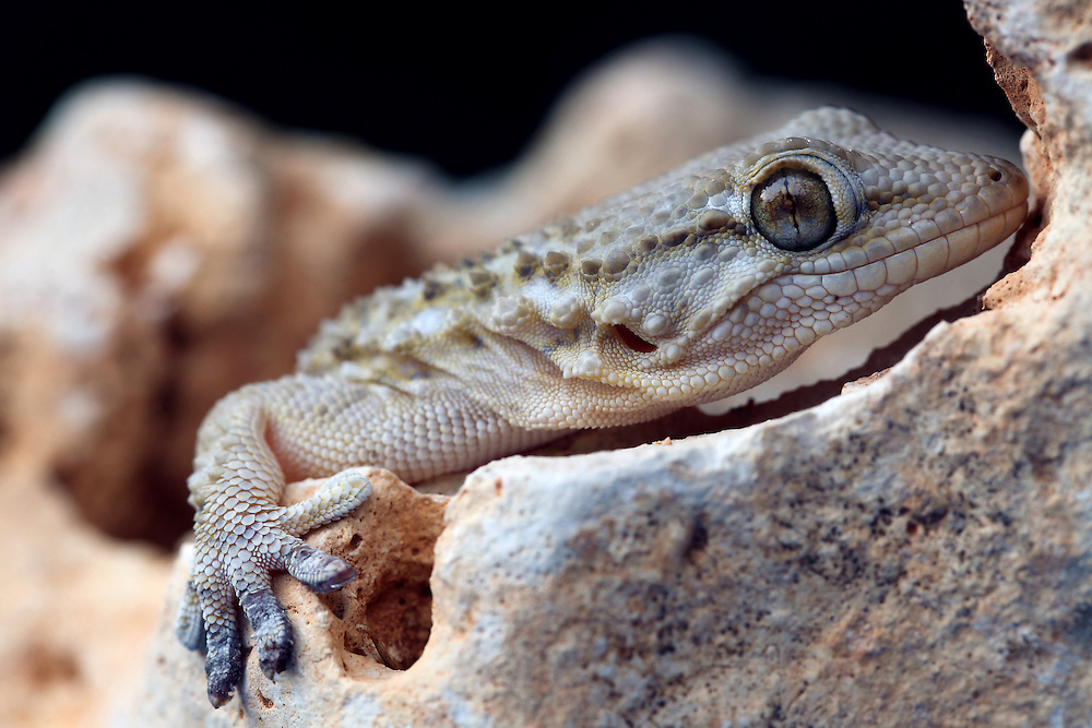 Mediterranean Geckos are nocturnal; their bodies are cylindrical, squat and sometimes flattened on the upper side. They have soft, granular skin that feels velvety to the touch. They have the ability to lighten or darken the colouring of their skin in order to blend in or to be less noticeable to other animals. They are expert tree climbers because they have toes that are equipped with claws and sticky toe pads. They provide year-round insect pest control in our landscapes and homes by feeding on the dreaded cockroach and a wide variety of other insects. Geckos have a long breeding season of about four to five months. Each adult female may lay several clutches of two hard-shelled eggs per year. The eggs are often laid in communal nests, are about one quarter of an inch long and are initially soft-textured, but harden quickly. Unlike most lizards, Mediterranean Geckos are capable of vocalising. The males make an advertising call consisting of several clicks. Vocalisations are also used in territorial disputes and to deter predators. An intriguing characteristic of the Mediterranean Gecko is its ability to cast off its tail in defence and regenerate a new one. The tail has several sections on it where it can break off at any given moment and once it has been cast off, the tail will continue to move violently for several minutes until it slows down and stops, thus giving the Gecko a chance to escape. It takes approximately 3 weeks for these geckos to completely regenerate a new tail, although, it is usually never as long as the original one.