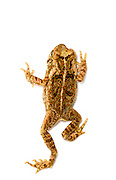 Aerial of a young Cane Toad (Rhinella marina) climbing on white background.