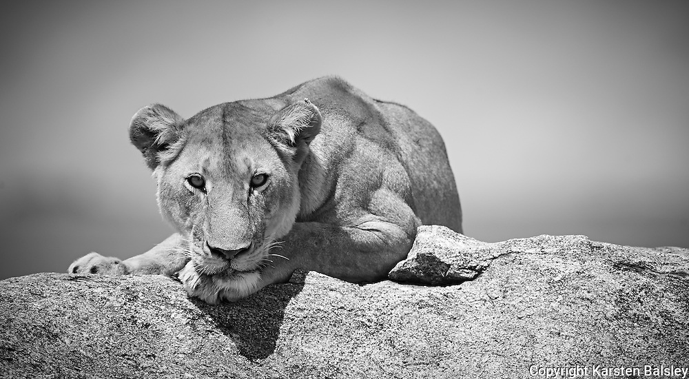 &ldquo;Lion&rsquo;s Gaze&rdquo;                                           Tanzania<br />