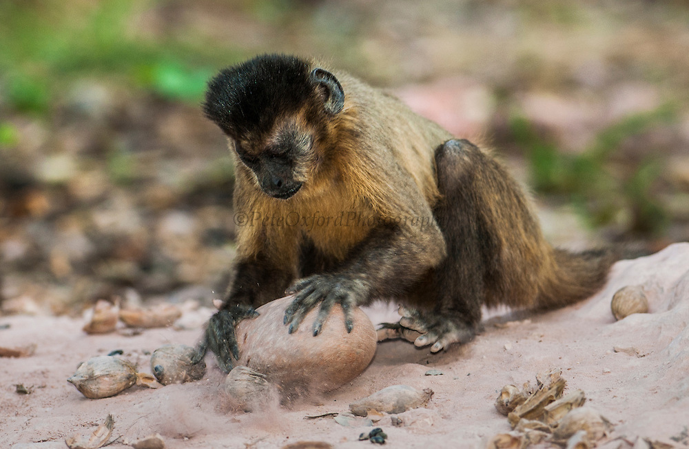 """Brown Capuchin Monkey - """"Tool using""""<br /> Cebus apella<br /> Cerrado Habitat<br /> Piaui State, BRAZIL. South America<br /> Range: Various habitats throughout South America<br /> Cracking palm nut from ( Atalea funifera) with rock<br /> """"FIRST INTERNATIONALLY PUBLISHED RECORD OF NEW-WORLD PRIMATES USING TOOLS IN THE WILD"""""""