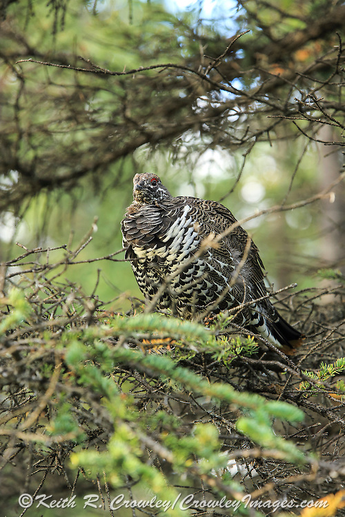Spruce grouse perched in a spruce tree in northern boreal forest habitat