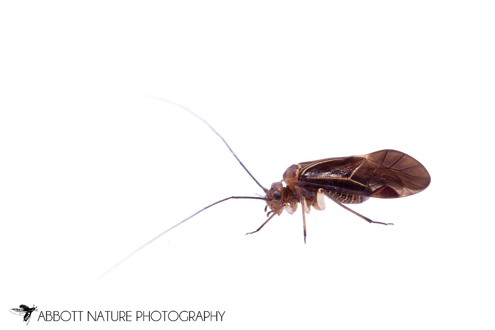 Bark Louse (Cerastipsocus venosus) - male<br /> TEXAS: Jasper Co.<br /> Brookeland/Lake Sam Rayburn KOA @ 505 Co Rd 212<br /> 31.141606, -93.994174<br /> 23.May.2015<br /> J.C. Abbott #2733 &amp; K.K. Abbott
