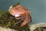Hermit crab Eupagurus prideaux with commensal Cloak Anemone Adamsia carcinopados