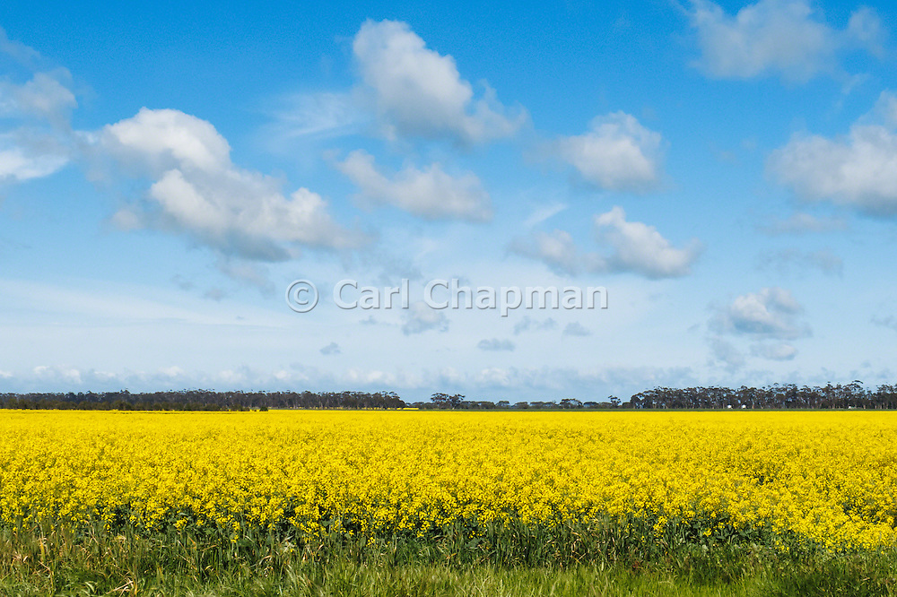 Cumulus cloud over field of flowering canola in rural Mingay, Victoria, Australia.