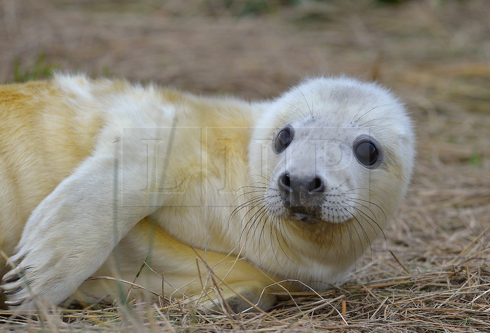 © Licensed to London News Pictures. 19/11/2015. North Somercotes, UK. A grey seal pup at Donna Nook Nature Reserve, North Somercotes, Lincolnshire. Every November and December the grey seals come ashore and give birth to their pups near to the sand dunes at the reserve. Photo credit : Anna Gowthorpe/LNP