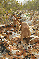 Stock and Honey, two Australian Dingos (Canis lupus dingo) at Mt Hart Wilderness Lodge on the Gibb River Road.