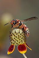 Potter Wasp, Euodynerus sp. Photographer: Robert Rommel<br />