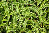 Closeup of fern plants on the Pihea Trail, Koke'e State Park, Kauai, Hawaii, USA.