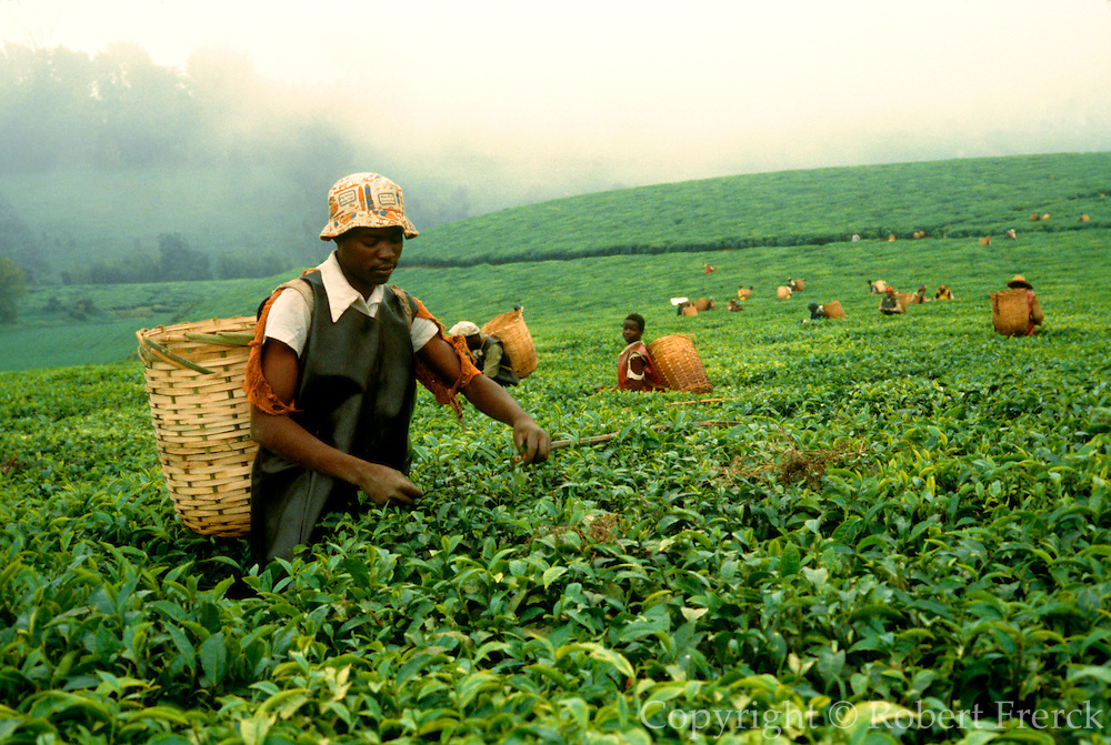 KENYA, AGRICULTURE Maua; a Kikuyu man picking tea on a plantationn in the highlands