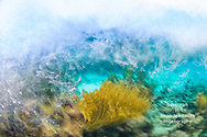 """Turbulent Seas"" - Waves crash onto a shallow coral reef, a gorgonian waving in the strong sea. Slow shutter exposure used to show movement. Coral Reef Gardens, Grand Cayman"