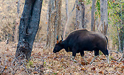 Gaur (Bos gaurus) in the forest of Tadoba NP, India.