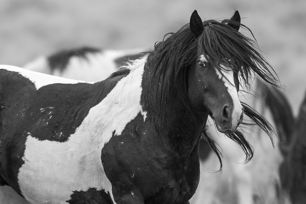 Fresh from battle, the wild stallion, Washakie, gazes towards another rival at the McCullough Peaks Herd Management Area outside, Cody, Wyoming.