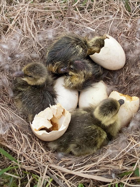 Greater White-fronted Geese, Anser albifrons, goslings at nest, Yukon Delta NWR, Alaska