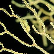 Hamodactylus noumeae shrimp in Lembeh Straits, Indonesia.