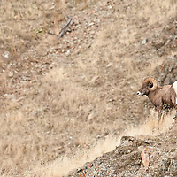 trophy bighorn sheep ram wild rocky mountain big horn sheep