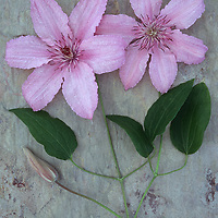 Two pale pink and white flowers with stalks of Clematis Hagley hybrid lying with flowerbud on marbled slate