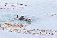 Two sea otters swimming in the ocean.