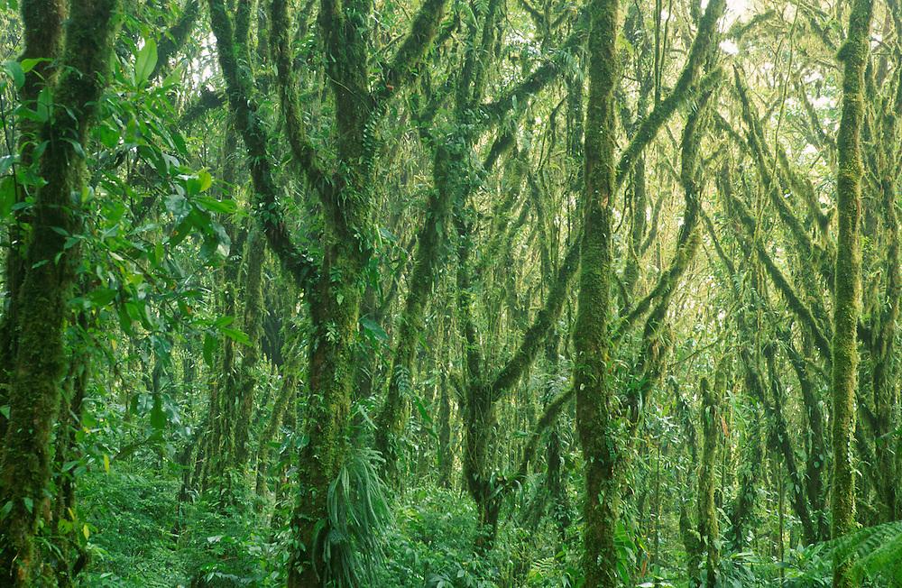 Cloud Forest Reserva Biologica Nuboso Costa Rica,Central America,