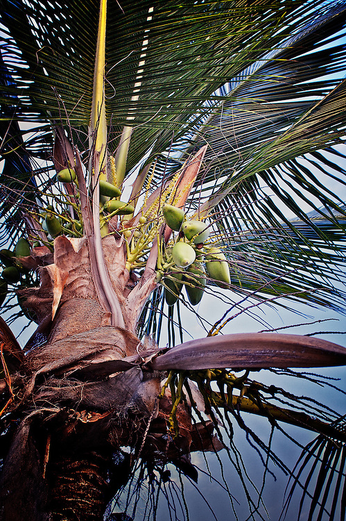 Coconuts hang from a palm tree in Kona Hawaii.