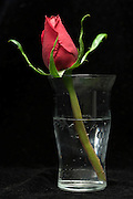 a single rose in a glass of water against a black background