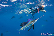 Mark Strickland and Jesse Cancelmo (background) photograph Atlantic sailfish, Istiophorus albicans, attacking bait ball of Spanish sardines (aka gilt sardine, pilchard, or round sardinella ), Sardinella aurita, off Yucatan Peninsula, Mexico ( Caribbean Sea ) MR 405, 403