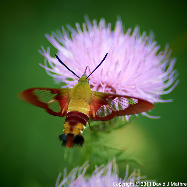 Clearwing Hummingbird Moth on Thistle Bloom. Sourland Mountain Preserve, Summer Nature in New Jersey. Image taken with a Nikon D3s and 300 mm f/2.8 VR lens + TC-E III 20 teleconverter (ISO 1600, 600 mm, f/5.6, 1/500 sec). Raw image processed with Capture One Pro 6, Nik Define, and Photoshop CS5.