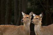 2 female Sika deer (Cervus nippon), also known as the spotted deer or the Japanese deer, Kinkazan Island, Japan
