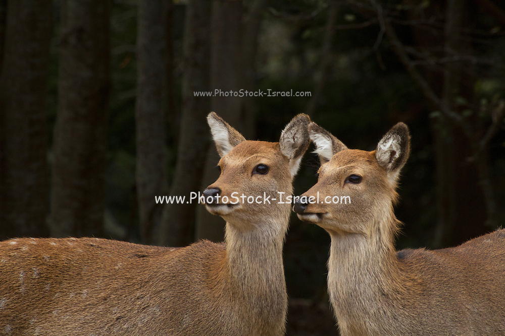 2 female Sika deer (Cervus nippon), also known as the spotted deer or the Japanese deer, Kinkazan Island, Japan
