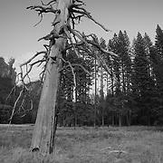 Leaning Burnt Pine - Yosemite Valley Meadow - Yosemite - Black & White