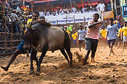 A man attempts to tame the bull for a distance of 75m in Alanganallur. Jallikattu. Those that are successful can win prizes that range from bicycles to a car.
