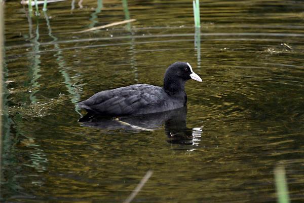 Nederland, Ubbergen, 26-10-2012Een meerkoet zwemt in een waterplas.Foto: Flip Franssen/Hollandse Hoogte