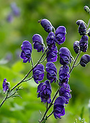 A purple monkshood (also known as aconite) alpine wildflower blooms in the Alpstein limestone range, Appenzell Alps, Switzerland, Europe. Aconitum is a genus of over 250 species of flowering plants in the family Ranunculaceae.