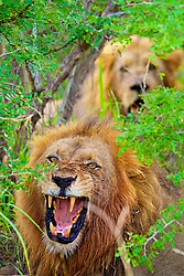 April 3, 2015 - South Africa, Africa - A pair of adult male lions growling at camera in Klaserie, South Africa. (Credit Image: © Shannon Benson /Vwpics/VW Pics via ZUMA Wire)