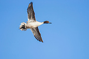 Pintail drake in flight