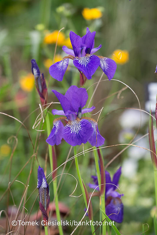 Iris sibirica 'Blaue Milchstrasse'
