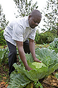 A Kulika trained farmer tends to his healthy looking organic cabbage in Uganda.