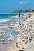 Tourists walking among shorebirds and Waders - Skimmers, Willets, Terns - on shoreline of coast at Captiva Island, Florida, USA