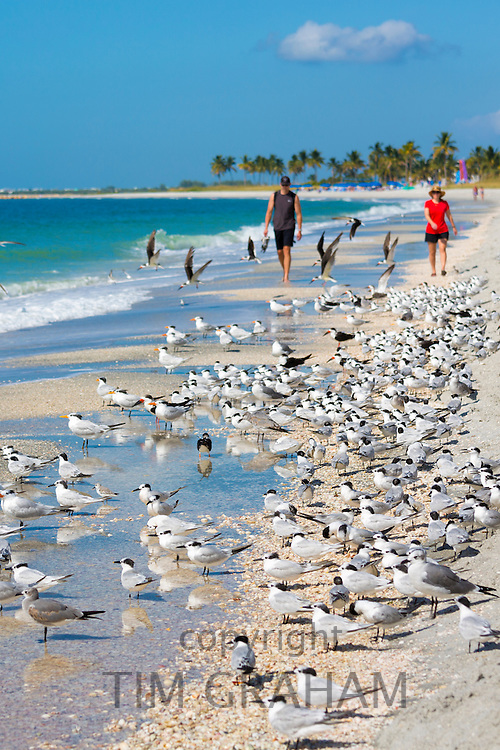 Tourists walking among shorebirds and Waders - Skimmers, Willets, Terns - on shoreline of coast at Captiva Island, Florida, USA