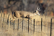 Series of Whitetail buck jumping a barbed wire fence in fall habitat.