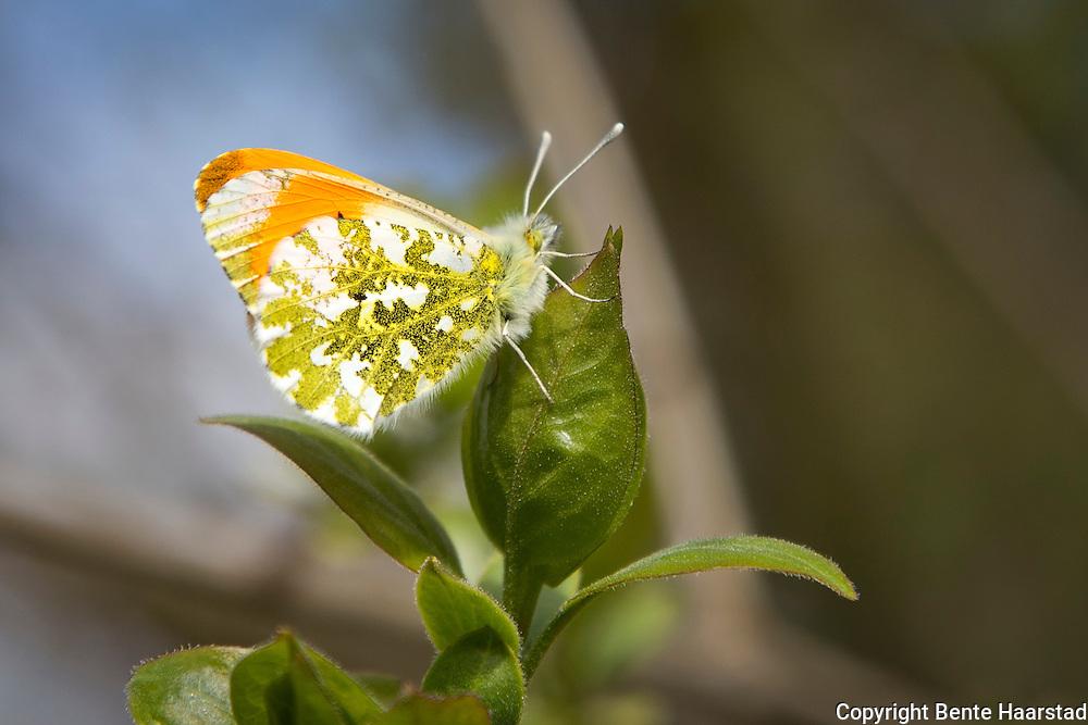 Aurorasommerfugl (Anthocharis cardamines) er en dagaktiv sommerfugl i gruppen hvitvinger. Flyr i mai og juni, vanlig til Tr&oslash;ndelag.<br /> The orange tip (Anthocharis cardamines) is a butterfly in the family Pieridae.