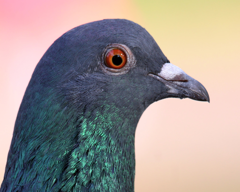 A handsome portrait, as the pigeon politely posed for the camera.