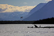 An Alaskan Brown bear stands on a long point as a float plane comes in to land at Brooks Camp in Katmai National Park.