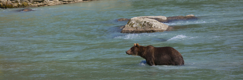Grizzly Bear in Chilkat River, Alaska