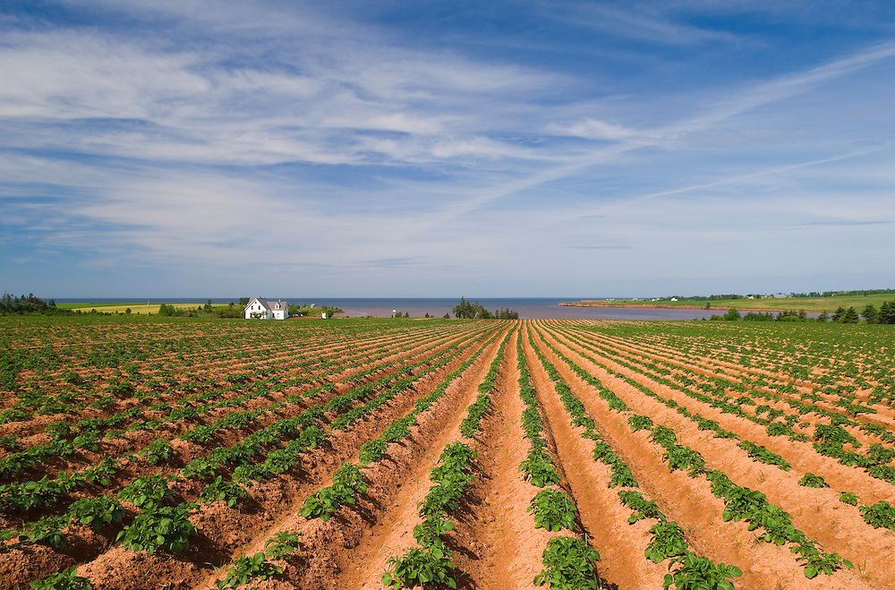 Potato field furrows and view to coast at DeSable, Prince Edward Island, Canada..