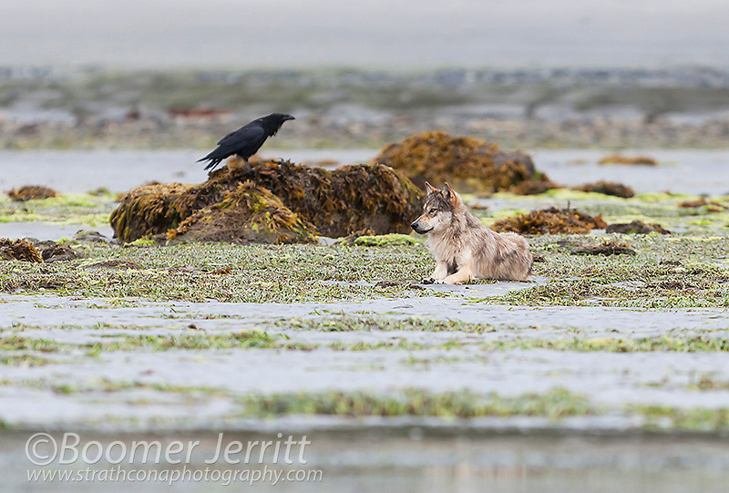 A Raven (Corvus corax) and Coastal Wolf (C.L. Nubilis) a subspecies of Grey Wolf relax on a beach  in the Great Bear Rainforest.  Fjordland, Great Bear Rainforest, Northern British Columbia Coast, British Columbia, Canada.