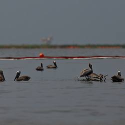 Brown Pelicans are seen in the water near containment boom that surrounds the banks of Cat Island off the coast of Louisiana on Thursday, June 17 2010. Oil from the Deepwater Horizon spill continues to impact areas across the coast of gulf states.
